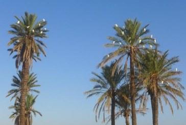 Mohamed Boussacsou ou le focus palmier