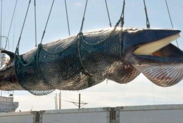 Japon: 177 baleines tuées dans le Pacifique, mission accomplie
