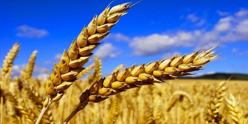 Tige de blé du Maroc