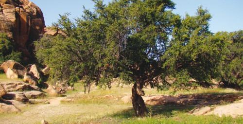 Arganiculture: Lancement à Agadir du projet de plantation de 10.000 ha de vergers dans les zones vulnérables