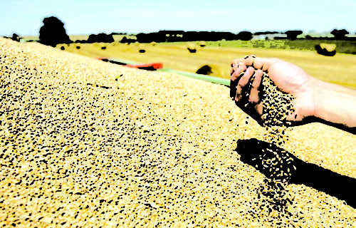 Céréales: Environ trois millions de quintaux prévus durant cette saison agricole dans l'Oriental