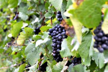 Signature d'un accord-cadre entre la douane et l'association des producteurs de raisins