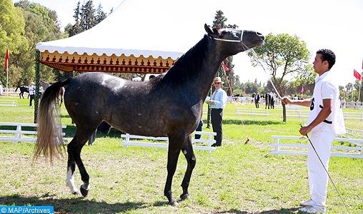 Marrakech abrite le concours interrégional d'élevage des chevaux Arabe-Barbe
