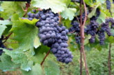 La province de Ben Slimane occupe 7% de la superficie viticole nationale et génère 20 MDH de revenu par an