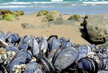 Levée de l'interdiction sur la collecte et la commercialisation des coquillages issus de Ras Kebdana-Saidia