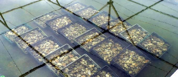 Agadir : Interdiction de la récolte et de la commercialisation des coquillages