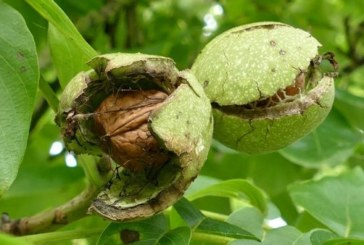 Taroudant: 1,7 MDH pour la réalisation d'une unité de valorisation des noix