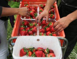 Le Royaume-Uni autorise le recrutement des travailleurs saisonniers non-UE