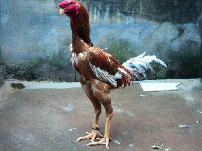 Brésil : Une poule géante vendue aux enchères pour près de 20.000 dollars