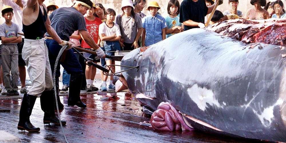 Le Japon reprend la chasse commerciale à la baleine en 2019