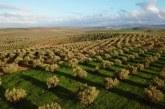 Olives : une récolte record de plus de 2 millions de tonnes pour l'actuelle campagne
