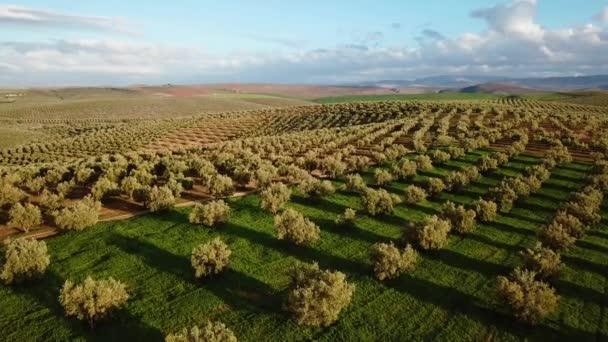 Olives : une récolte record de plus de 2 millions de tonnes pour l'actuelle campagne oléicole