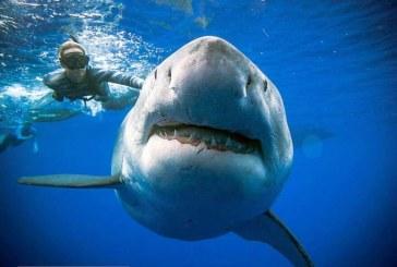 Des plongeurs nagent à côté d'un requin blanc de six mètres à Hawaï (VIDÉO)