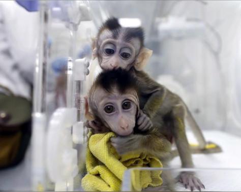 Clonage de singes en Chine pour la recherche sur les troubles de rythme circadien