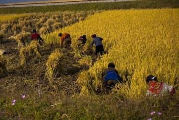 Corée du Nord: la production alimentaire à son plus bas en plus de dix ans, selon l'ONU