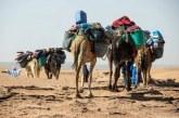 M'hamid El Ghizlane: interception de dix dromadaires transportant plus d'une tonne de chira