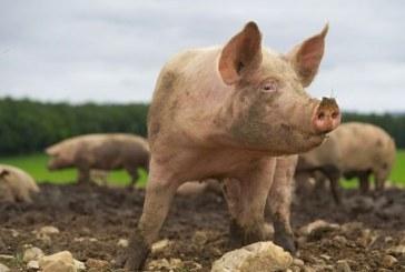 Peste porcine au Vietnam : plus d'un million de porcs abattus