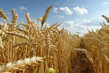Importation du blé tendre : application de 135% des droits de douane