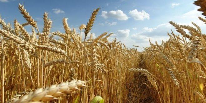 blé tendre