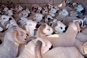 Aid Al Adha 2019 : Plus de 4,5 millions d'ovins et de caprins