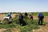 Menthe toxique : Destruction des champs dans plusieurs régions