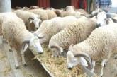 Aid Al Adha 1440: Près 7,4 millions têtes d'ovins et de caprins identifiés
