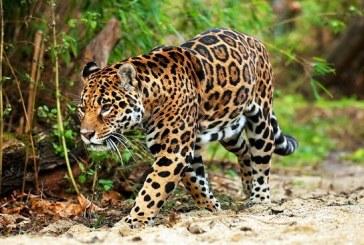 Un braconnier accusé d'avoir tué plus de mille jaguars au Brésil