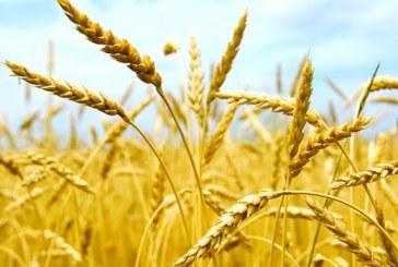 Maroc: Régression de la Production céréalière en 2018-2019