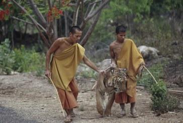 Thaïlande : mort de dizaines de tigres confisqués à un temple pour maltraitance